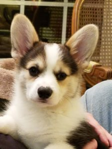 A tri-color corgi puppy named Finn who belongs to author Elizabeth Spann Craig.